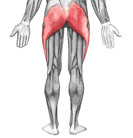 Anatomical picture of the gluteus maximus